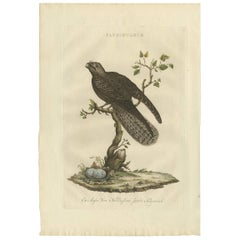 Antique Bird Print of the Caprimulgus by Sepp & Nozeman, 1770