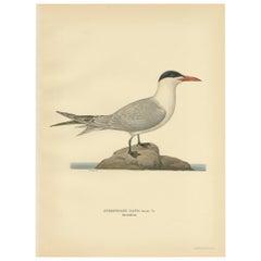 Antique Bird Print of the Caspian Tern by Von Wright, 1929
