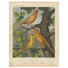 Antique Bird Print of the Cinnamon Canaries Norwic, Yellow Ordinary and Others