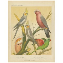 Antique Bird Print of the Cockateel Male, Roseatte Cockatoo and Others