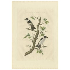Antique Bird Print of the Collared Flycatcher by Sepp & Nozeman, 1829