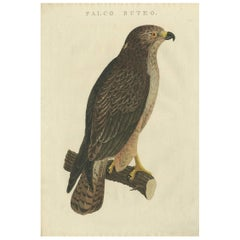 Antique Bird Print of the Common Buzzard by Sepp & Nozeman, 1829