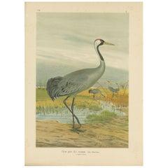Antique Bird Print of the Common Crane by Naumann, circa 1895