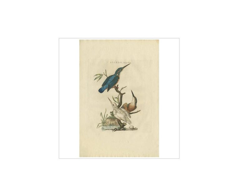 Antique print titled 'Alcedo Ispida'. The common kingfisher (Alcedo atthis) also known as the Eurasian kingfisher, and river kingfisher, is a small kingfisher with seven subspecies recognized within its wide distribution across Eurasia and North