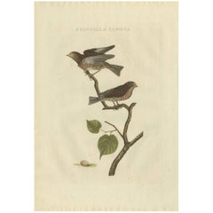 Antique Bird Print of the Common Linnet by Sepp & Nozeman, 1809