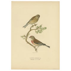 Antique Bird Print of the Common Linnet by Von Wright, 1927