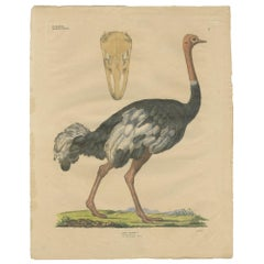 Antique Bird Print of the Common Ostrich by Goldfuss, circa 1824