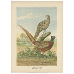 Antique Bird Print of the Common Pheasant by Naumann, circa 1895