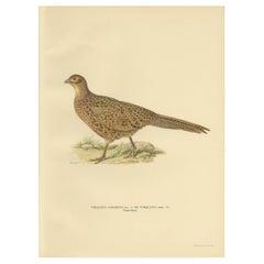 Antique Bird Print of the Common Pheasant by Von Wright '1929'