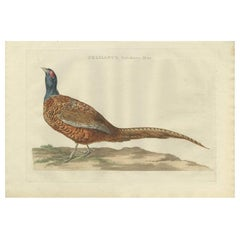 Antique Bird Print of the Common Pheasant 'Male' by Sepp & Nozeman, 1789