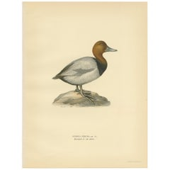 Antique Bird Print of the Common Pochard by Von Wright, 1929