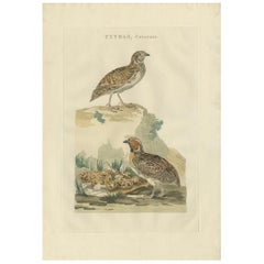 Antique Bird Print of the Common Quail by Sepp & Nozeman, 1789