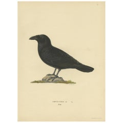 Antique Bird Print of the Common Raven by Von Wright, 1927