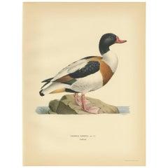 Antique Bird Print of the Common Shelduck by Von Wright '1929'