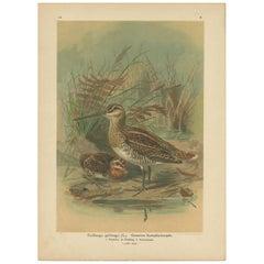 Antique Bird Print of the Common Snipe by Naumann, circa 1895