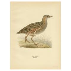 Antique Bird Print of the Corncrake by Von Wright '1929'