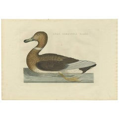 Antique Bird Print of the Domestic Duck by Sepp & Nozeman, 1809