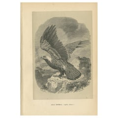 Antique Bird Print of the Eastern Imperial Eagle '1853'