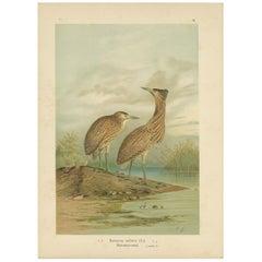 Antique Bird Print of the Eurasian Bittern by Naumann, circa 1895