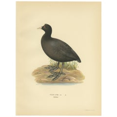 Antique Bird Print of the Eurasian Coot by Von Wright, 1929