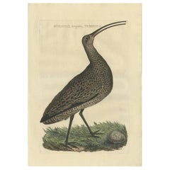 Antique Bird Print of the Eurasian Curlew by Sepp & Nozeman, 1789