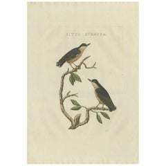Antique Bird Print of the Eurasian Nuthatch by Sepp & Nozeman, 1829
