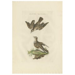 Antique Bird Print of the Eurasian Sky Lark by Sepp and Nozeman, 1809