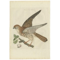 Antique Bird Print of the Eurasian Sparrowhawk by Sepp & Nozeman, 1797