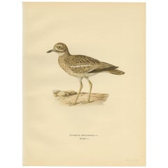 Antique Bird Print of the Eurasian Stone-Curlew by Von Wright, 1929