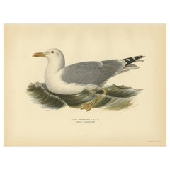 Antique Bird Print of the European Herring Gull 'Summer' by Von Wright, 1929
