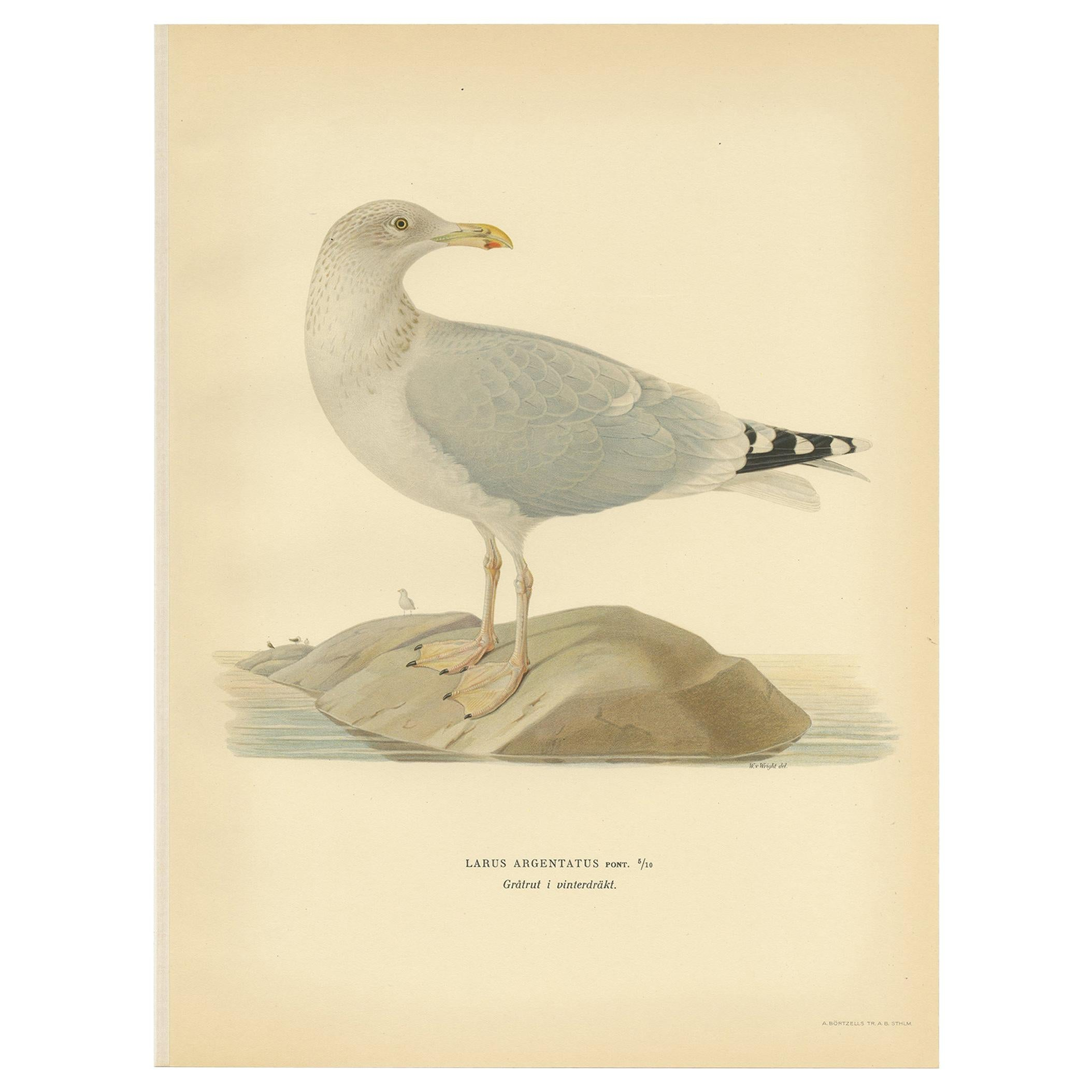 Antique Bird Print of the European Herring Gull 'Winter' by Von Wright, '1929'