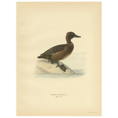 Antique Bird Print of the Female Tufted Duck by Von Wright, 1929