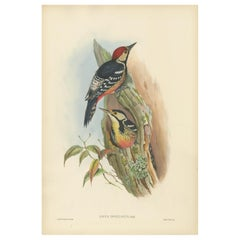 Antique Bird Print of the Formosan Spotted Woodpecker by Gould, circa 1850