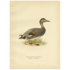Antique Bird Print of the Gadwell by Von Wright '1929'