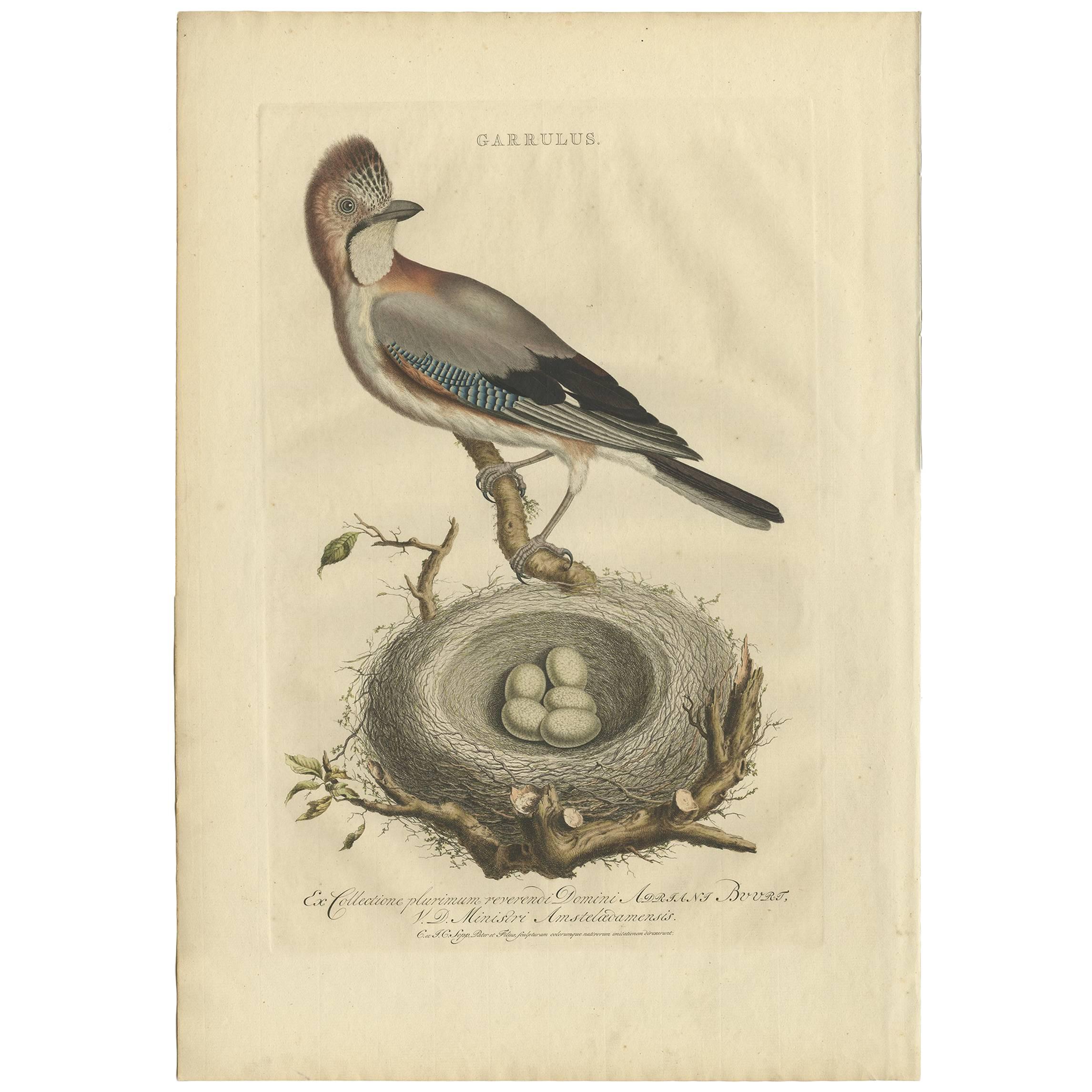 Antique Bird Print of the Garrulus by Sepp & Nozeman, 1770