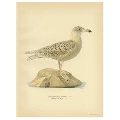 Antique Bird Print of the Glaucus Gull by Von Wright, 1929