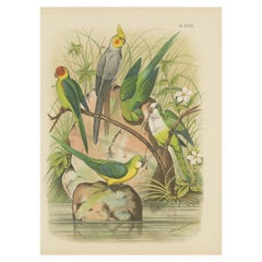Antique Bird Print of the Golden-Crowned Parrakeet and other Birds '1882'