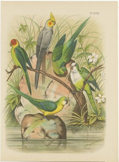 Antique Bird Print of the Golden-Crowned Parrakeet and other Birds (1882)