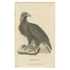 Antique Bird Print of the Golden Eagle by Kearsley '1808'
