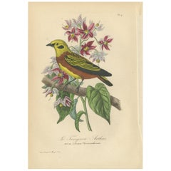 Antique Bird Print of the Golden Tanager, '1853'