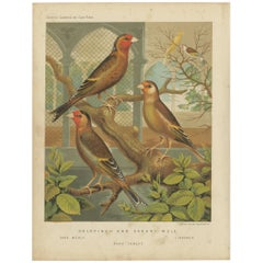 Antique Bird Print of the Goldfinch and Canary Mule Dark Mealy and Others