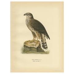 Antique Bird Print of the Goshawk by Von Wright, 1929