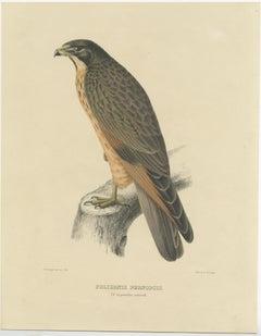 Antique Bird Print of the Grasshopper Buzzard by Severeyns (c.1850)