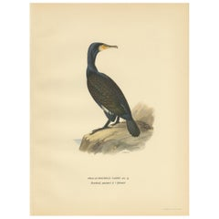 Antique Bird Print of the Great Cormorant by Von Wright, '1929'