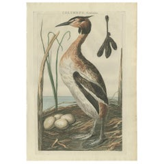 Antique Bird Print of the Great Crested Grebe by Sepp & Nozeman, 1789