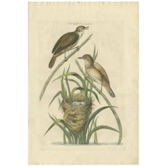 Antique Bird Print of the Great Reed Warbler by Sepp and Nozeman, 1789