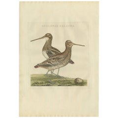 Antique Bird Print of the Great Snipe by Sepp & Nozeman, 1797