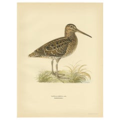 Antique Bird Print of the Great Snipe by Von Wright, 1929