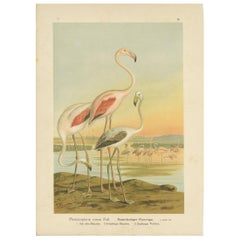 Antique Bird Print of the Greater Flamingo by Naumann, circa 1895