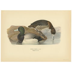 Antique Bird Print of the Greater Scaup by Von Wright, 1929